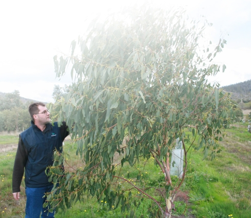 Dean Williams inspects a seed orchard tree for flower buds