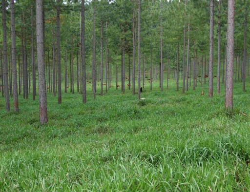 Figure 2. : La Pera, Misiones, AR : 450 stems per ha. of hybrid pine at 12 years of age over improved pasture.