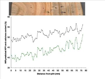 Radial profiles of kraft pulp yield and cellulose in a shining gum tree