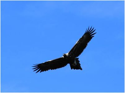 Photo: Looking after eagles on the Three Capes Track  Exclusion zones around eagle nests on the Three Capes Track on the Tasman Peninsula are helping to protect  wedge-tailed eagles and white-bellied sea eagles.   At least seven young eagles fledged among the eight active nests that have been monitored this breeding season. In the early stages of planning for the Three Capes Track, it was identified that the proposed track route included a number of areas with the strong likelihood of suitable nesting habitat for the both the white-bellied sea eagle and wedge-tailed eagle. The wedge-tailed eagle (Aquila audax subsp. fleayi)is listed as endangered under the Tasmanian Threatened Species Act and the white-bellied sea eagle (Haliaeetus leucogaster) as vulnerable. An aerial survey of the area of the Three Capes Track and nearby area was undertaken in 2008, as part of the assessment of environmental values. This targeted potential nesting habitat, inspected 10 previously known nests, and revealed five new eagles' nests. Since 2011, the search area expanded to include several nests near to the Three Capes Track route, with 14 nests currently being monitored.  When track construction began in 2012, exclusion zones for the nests were put in place. The exclusion zones take in a one-kilometre horizontal and vertical radius for helicopter activity and 500 metres for construction activity. The exclusion zones apply during the breeding season of 1 August to 31 January, which provides a six month window of undisturbed time for breeding and raising chicks. Eagle nest monitoring is done twice-yearly, via a fixed-wing plane, to see if the nests are still in place and being actively used, and to record breeding success. While the number of nests that are active has reduced slightly, at least seven fledging eagles have been counted among the eight active nests. Importantly, five of the successful nests were on the eastern side of the peninsula, where the helicopter operations were regu