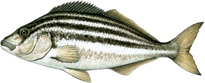 Fish illustration by Peter Gouldthorpe